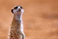 Meerkat, Kgalagadi Transfrontier National Park, South Africa, (Suricata suricatta)