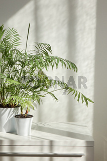 Two flower pots with evergreen houseplant against wall with shadows.