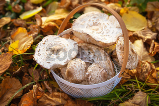 A basket with beautifully picked up edible mushrooms umbrellas stands on fallen yellow leaves