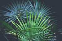 Beautiful fan palms - Livistona australis