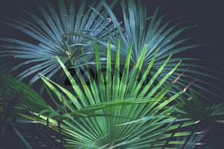 Beautiful fan palms - Livistona australis