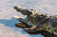 Nile Crocodile in Chobe river, Botswana