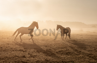 horses galloping on misty sunny pasture