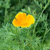 Flower Eschscholzia californica in nature