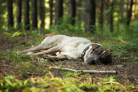 A lone dog sleeps in the woods after a long road trip