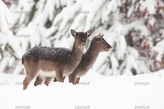Two baby fallow deers standing on meadow in winter.