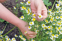 Rural woman  pick flowers of a medical wild camomile daisies  for processing in oil and tincture