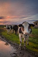 A Group of Friendly Cows Enjoying the Sunset