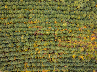 Aerial view from a drone above autumn forest from young trees.