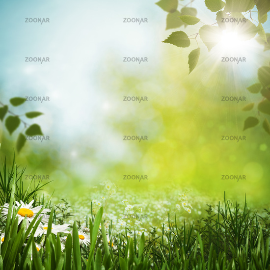 Green meadow with daisy flowes, natural backgrounds for your design
