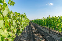 Vineyard on a sunny summer day with a blue sky in Moldova. Copy space