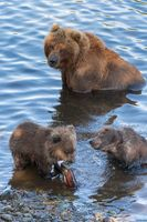 Wild Kamchatka brown she-bear with two bear cub catch red salmon fish and eat it while standing in w