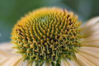 Echinacea purpurea, sunflower family, yellow strain