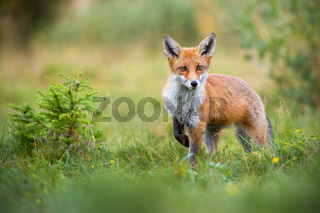 Lovely red fox facing camera with adorable eyes in green summer nature