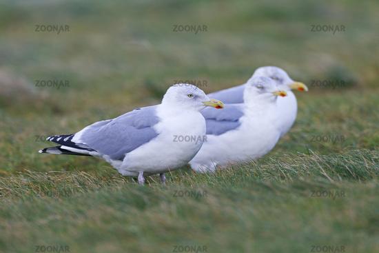 European Herring Gull adult birds in winter plumage on the North Sea coast