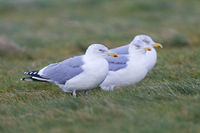 European Herring Gull adult birds in winter plumage on the North Sea coast