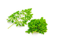 Collection of organic young Moringa drumstick leaves isolated on white background