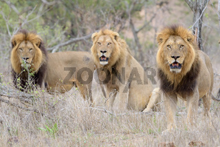 Male lions in the wilderness