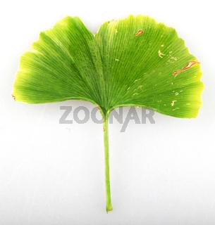 Ginkgo Biloba Leaf Against White Background