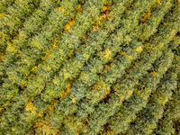 Top aerial view from a drone above autumn forest from young trees.