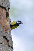 Great Tit with food for the chicks at the nesting hole
