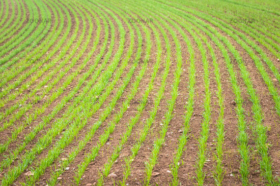 Natural environment background. Farmland detail with growing cultivation.