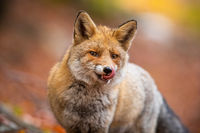 Portrait of red fox licking its mouth inside woodland in autumn nature.
