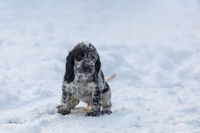 cute baby of dog English Cocker Spaniel puppy