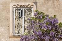 Blühender Blauregen (Wisteria) an alter Hauswand