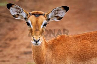 Impala im Lake Mburo Nationalpark in Uganda (Aepyceros melampus) | Impala at Lake Mburo National Park in Uganda (Aepyceros melampus)