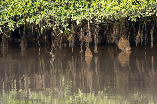 Aerial root systems of mangroves growing in in tidal mudflats,Borneo, Malaysia