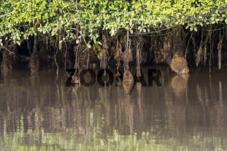 Luftwurzelsystem von Mangroven unter gezeitenbedingten Wasserstandsschwankungen,Borneo, Malaysia