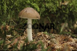 Rehbrauner Dachpilz (Pluteus cervinus)