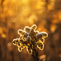 Flower in orange winter light on a meadow