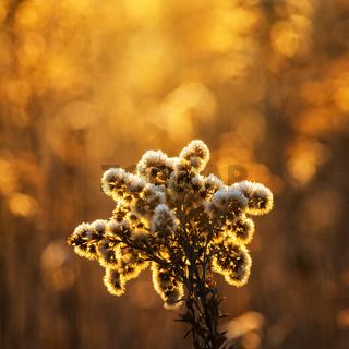 Flower in orange winter light on a meadow