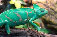 Young green chameleon. Natural habitat. Cute pet. Fauna of nature.