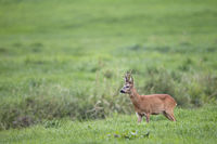 Roe Deer buck in the rut observes another buck