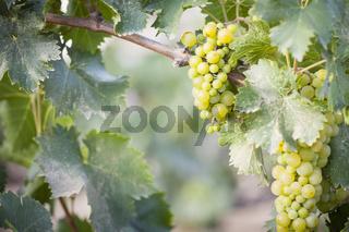 Lush White Grape Bushels Vineyard in The Morning Sun
