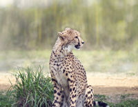 Cheetah siitting in a grassland