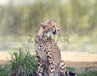 Cheetah siitting in a grassland