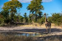South African giraffe, Africa wildlife safari