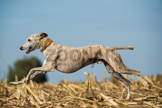 Running whippet dog in a stubblefield