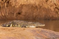 crocodile in pilanesberg national park, South Africa