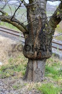 Dicker Stamm eines durch aufpropfen veredelten Obstbaumes
