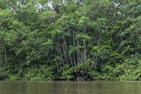 Gallery forest in the Cuyabeno Nature Reserve, Amazonas, Oriente, Ecuador.
