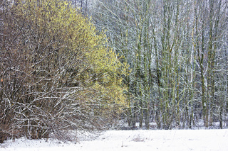 Wald mit blühendem Haselnussstrauch im Winter