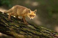 Young red fox walking on tree in summertime nature