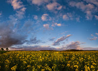 Spring dusk rapeseed yellow blooming fields