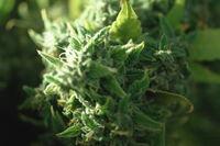 Macro photo of hemp inflorescence tips, thc crystals on cannabis shoots.