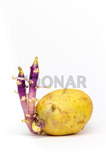 Potato  germinating on white background